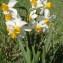 Genevieve Botti - Narcissus tazetta L. [1753]