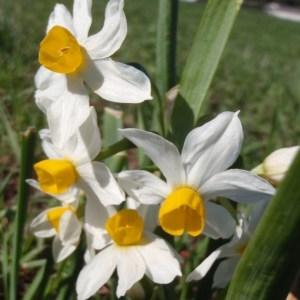 Photographie n°111664 du taxon Narcissus tazetta L.