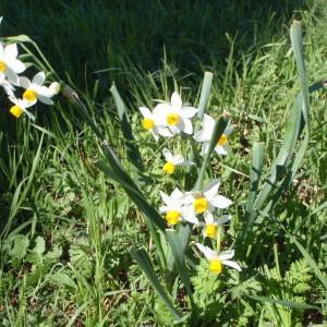 Photographie n°111666 du taxon Narcissus tazetta L.