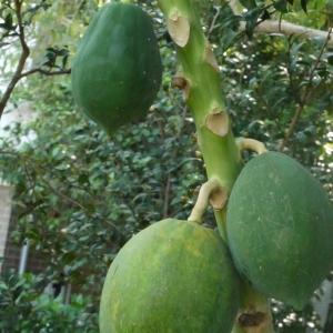 - Carica papaya L. [1753]