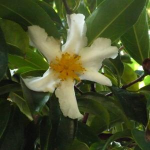 Camellia sp. [1753]