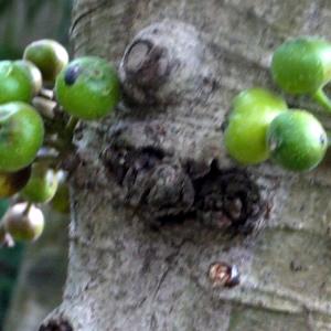Photographie n°111983 du taxon Ficus L. [1753]
