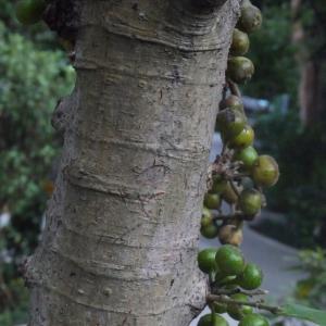 Photographie n°111984 du taxon Ficus L. [1753]