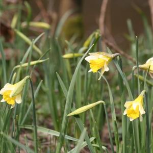 Photographie n°111999 du taxon Narcissus pseudonarcissus L. [1753]