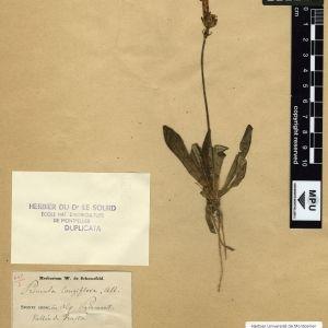 Photographie n°112013 du taxon Primula longiflora All.