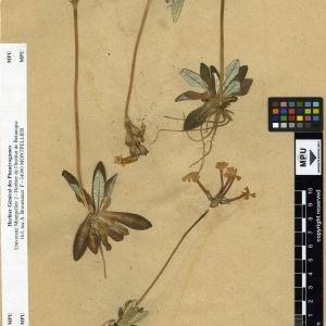 Photographie n°112014 du taxon Primula longiflora All.