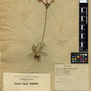 Photographie n°112015 du taxon Primula longiflora All.