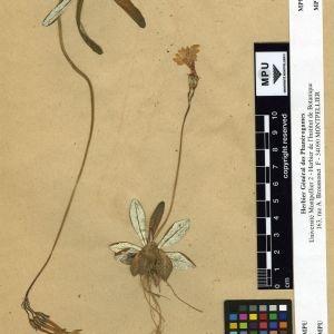 Photographie n°112016 du taxon Primula longiflora All.