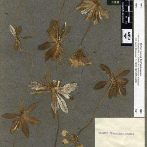 Photographie n°112017 du taxon Primula longiflora All.