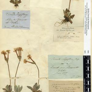 Photographie n°112021 du taxon Primula longiflora All.