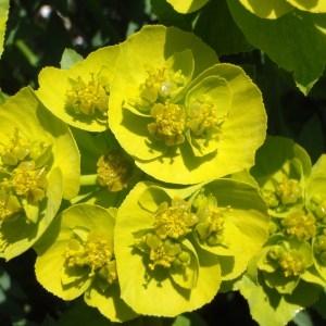 Euphorbia serrata L. [1753] (Euphorbe à feuilles dentées en scie)