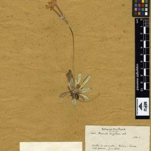 Primula halleri J.F.Gmel. (Primevère à fleurs longues)