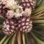 Liliane Roubaudi - Pinus mugo subsp. uncinata (Ramond ex DC.) Domin [1936]