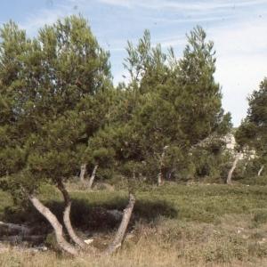 Photographie n°112102 du taxon Pinus halepensis Mill. [1768]