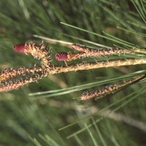 Pinus halepensis Mill. [1768] (Pin blanc de Provence)