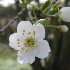 Photographie n°112149 du taxon Prunus domestica L. [1753]