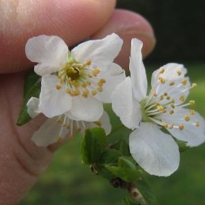 Photographie n°112150 du taxon Prunus domestica L. [1753]