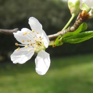 Photographie n°112151 du taxon Prunus domestica L. [1753]