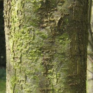 Photographie n°112153 du taxon Prunus domestica L. [1753]