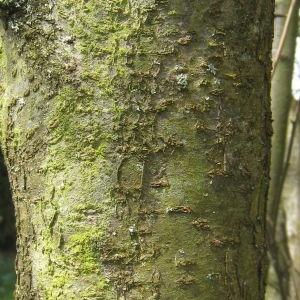 Photographie n°112154 du taxon Prunus domestica L. [1753]