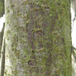 Photographie n°112156 du taxon Prunus domestica L. [1753]