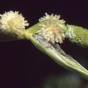 Sparganium angustifolium Michx. (Rubanier à feuilles étroites)