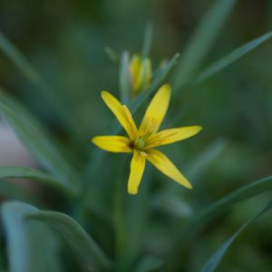 Gagea lutea (L.) Ker Gawl. (Gagée jaune)