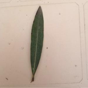 Photographie n°112333 du taxon Nerium oleander L. [1753]