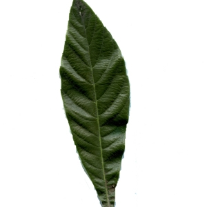 - Eriobotrya japonica (Thunb.) Lindl. [1821]