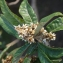 Liliane Roubaudi - Eriobotrya japonica (Thunb.) Lindl. [1821]