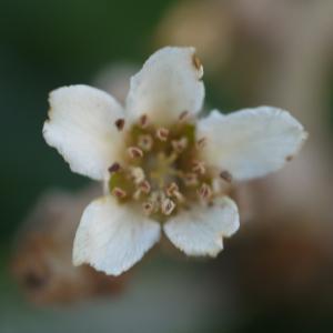 Eriobotrya japonica (Thunb.) Lindl. (Bibacier)