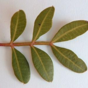 - Pistacia lentiscus L.
