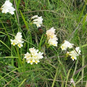 Freesia alba (G.L.Mey.) Grumbl.