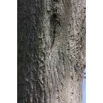 Acer cappadocicum Gled. [1785] (Érable de Cappadoce)