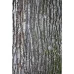 Tilia americana L. (Tilleul d'Amérique)
