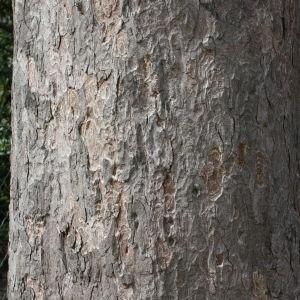 Photographie n°112704 du taxon Acer pseudoplatanus L.