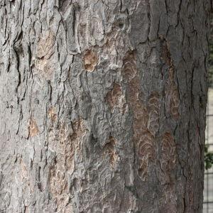 Photographie n°112705 du taxon Acer pseudoplatanus L.
