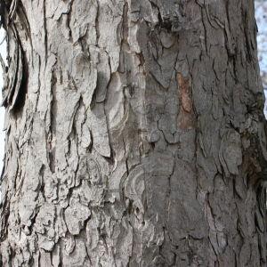Photographie n°112706 du taxon Acer pseudoplatanus L.