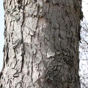 Photographie n°112707 du taxon Acer pseudoplatanus L.