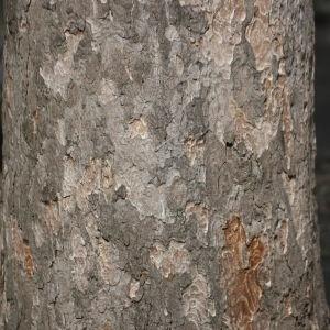 Photographie n°112708 du taxon Acer pseudoplatanus L.