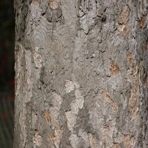 Photographie n°112709 du taxon Acer pseudoplatanus L.