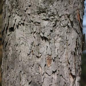 Photographie n°112710 du taxon Acer pseudoplatanus L.