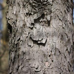 Photographie n°112711 du taxon Acer pseudoplatanus L.