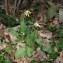 Jean-Luc Gorremans - Primula veris subsp. veris