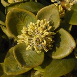 Photographie n°112967 du taxon Buxus sempervirens L. [1753]