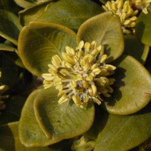 Photographie n°112968 du taxon Buxus sempervirens L.