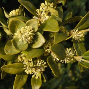 Photographie n°112969 du taxon Buxus sempervirens L.