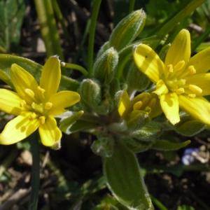 Photographie n°113067 du taxon Gagea villosa (M.Bieb.) Sweet
