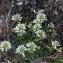 Liliane Roubaudi - Noccaea praecox subsp. praecox