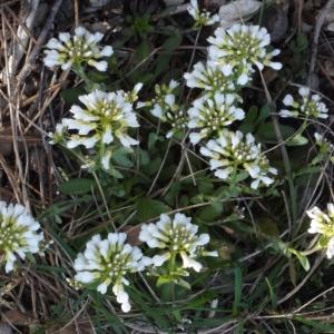 Photographie n°113081 du taxon Noccaea praecox subsp. praecox